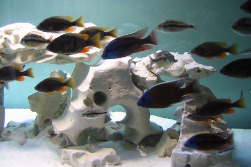 Algenfreies Aquarium mit Fischen