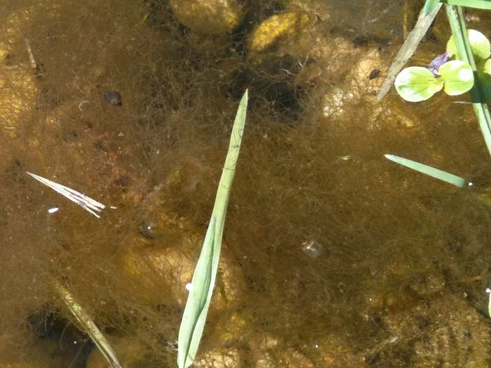 Brown algae like to accumulate on stones in shallow places from the pond.