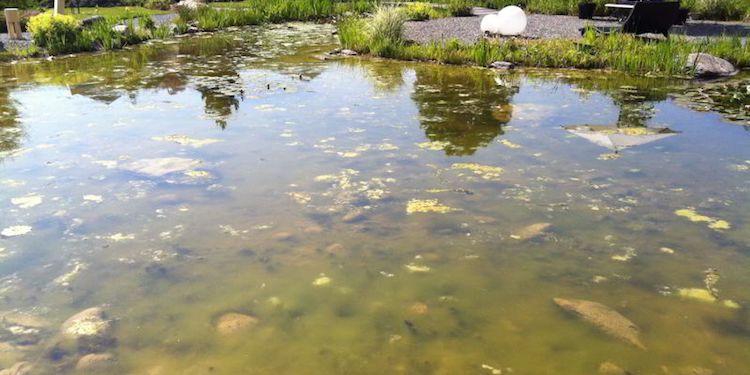 Bei einer Eutrophierung eines Teichs, Gewässers entstehen Algen, welche durch Nährstoffentzug, durch eine Teichreinigung entfernt werden können.