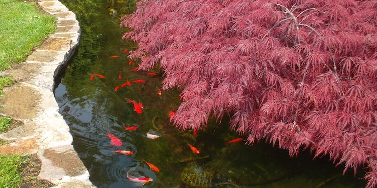 Koi Fische im Gartenteich mit klarem Wasser und anhaltendem Fadenalgenschutz