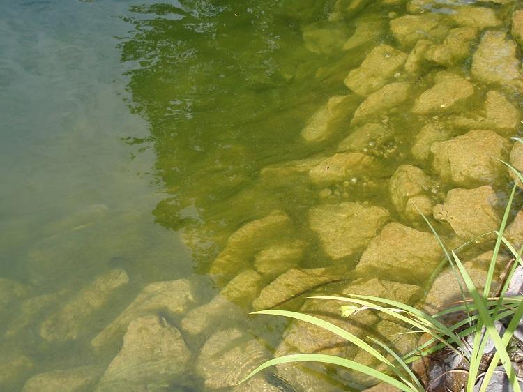 Ganz und zu Extrem Algen in Teichen umweltschonend bekämpfen | Natürliche Algenbekämpfung &PQ_19