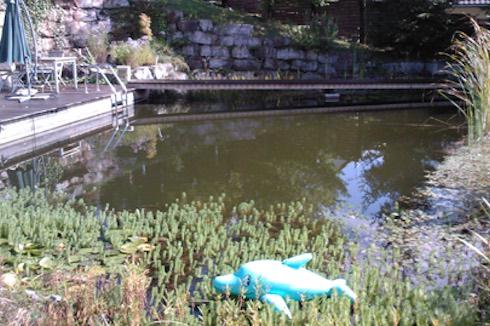 Koi-, Schwimmteich mit Schwebealgen